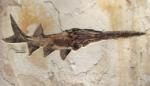 fossil fish Crossopholis magnicaudatus - Paddlefish
