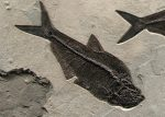 Fossil Fish Diplomystus dentatus