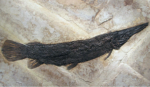 Fossil Fish Mural Gar - Lepisosteus simplex