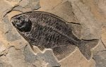 Fossil Fish Phareodus encaustus, Phareodus testis